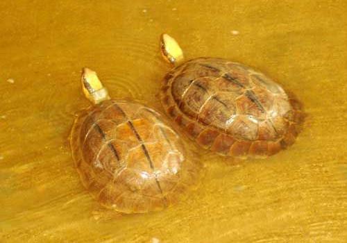 室内养殖金钱龟的方法