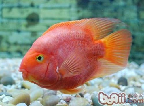 鹦鹉鱼的品种简介