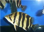 印尼虎鱼的品种简介