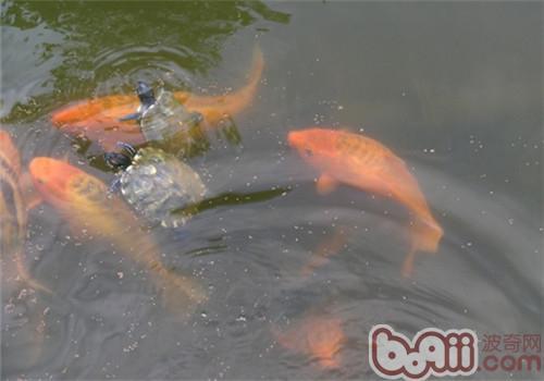 龟鱼混养好处多