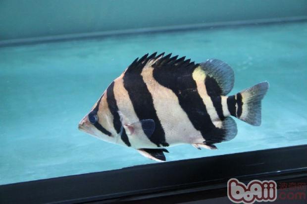 印尼虎鱼的外形特点
