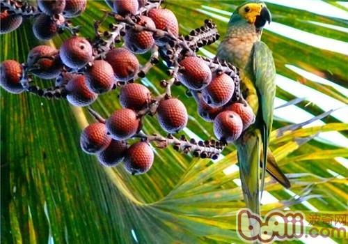 红腹金刚鹦鹉的饲养知识