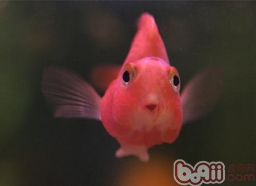 鹦鹉鱼的外形特点