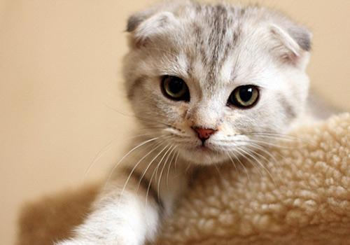 第一只折耳猫的历史
