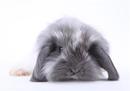垂耳兔的饲养方法简介