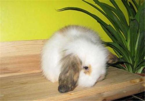 垂耳兔的寿命有多久?
