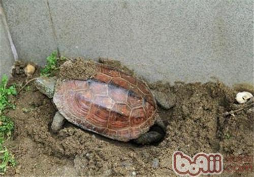 龟产卵期补钙要科学