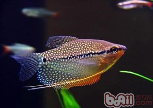 马来西亚和印度尼西亚    鱼类种类:观赏鱼    身长:10cm    形状