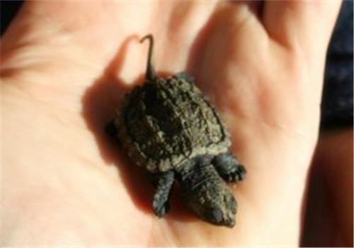 小鳄龟鉴别方法