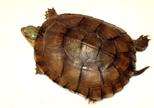 黃喉擬水龜繁殖要點全介紹
