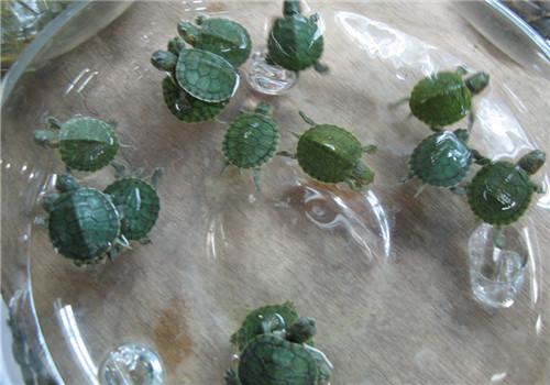 巴西龟的产卵与孵化要点