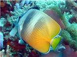 珠蝴蝶鱼的品种简介