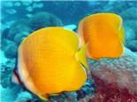 珠蝴蝶鱼的饲养环境