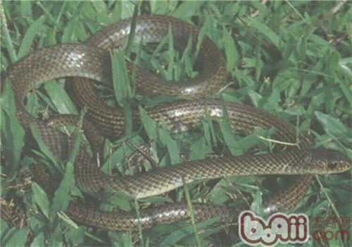 灰鼠蛇的品种简介