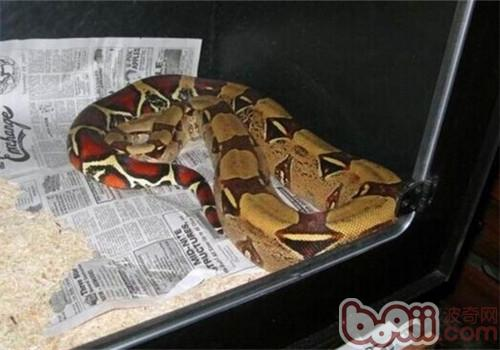 苏里南红尾蚺_红尾蚺的形态特征 爬虫品种-波奇网百科大全