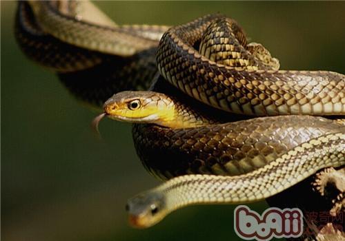滑鼠蛇,滑鼠蛇价格 滑鼠蛇多少钱一只 滑鼠蛇好养吗 ...