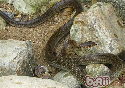 灰鼠蛇的饲养知识