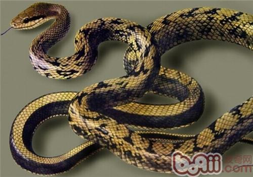 黑眉锦蛇的饲养知识