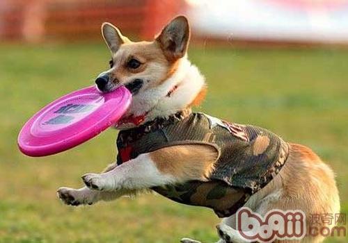 影响狗狗训练的因素有哪些