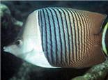中白蝴蝶鱼的外形特点