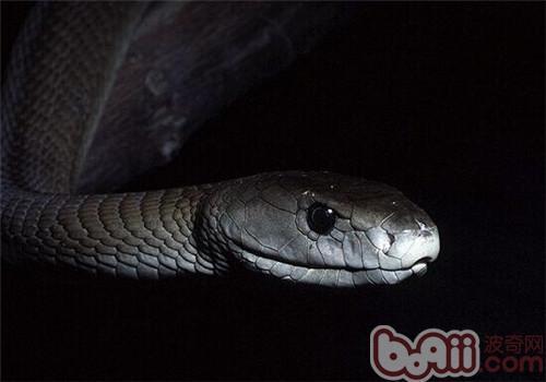 黑曼巴蛇的饲养知识