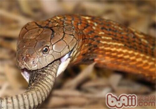 黑曼巴蛇的品种简介