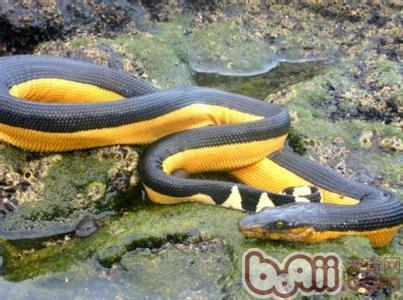 长吻海蛇的外形特点