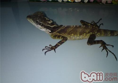 火冠蜥的饲养知识