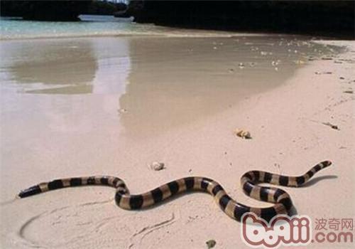 灰蓝扁尾海蛇的形态特征