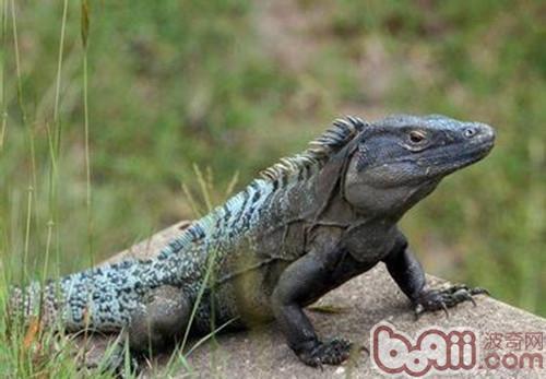 刺尾鬣蜥的饲养环境