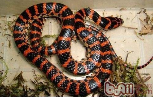 赤练蛇的外形特点