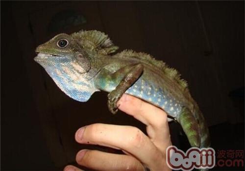 火冠蜥的生活环境