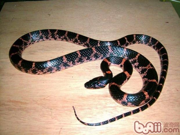 赤练蛇的饲养环境