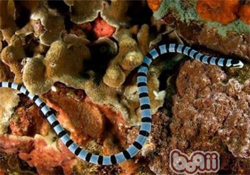 灰蓝扁尾海蛇的栖息环境