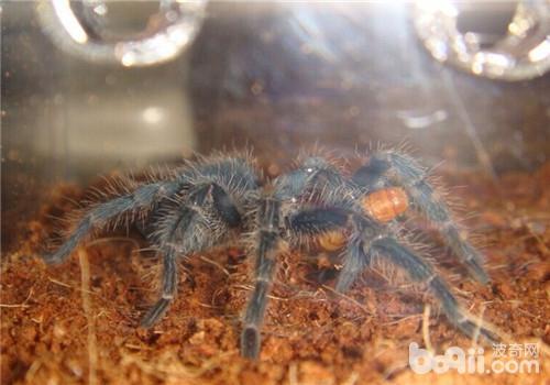 的   宠物   捕鸟蛛种类之一.   海地咖啡食鸟蜘蛛品种简介