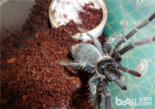 的巨人   宠物   捕鸟蛛种类之一,成年后的海地咖啡食鸟蜘蛛