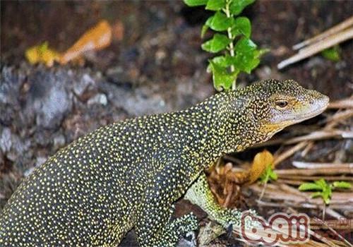 红树巨蜥的品种简介