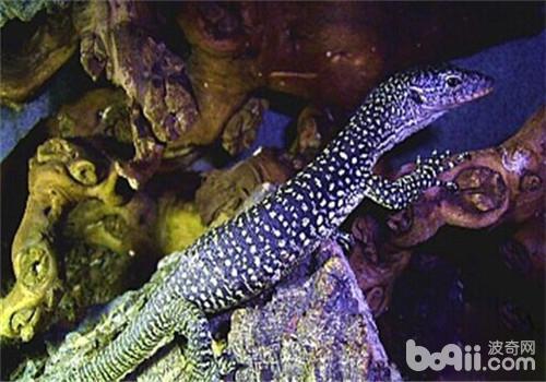 红树巨蜥的饲养知识