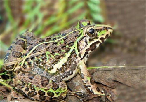 壁纸 动物 两栖 蛙 500_350