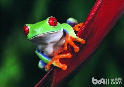 红眼树蛙的品种简介
