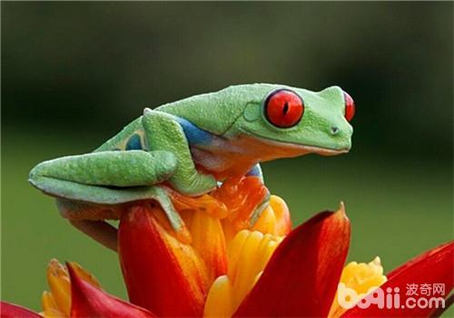 红眼树蛙的喂食要点