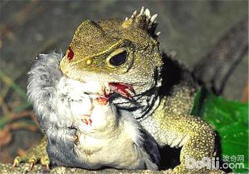 刺背鳄蜥的饲养环境