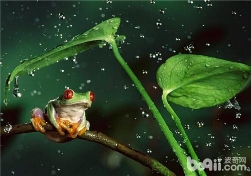 红眼树蛙的生活环境