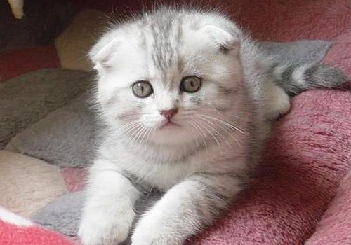 好动的动物,所以我们通常会认为只要是猫那么它们就一定是适合家养的