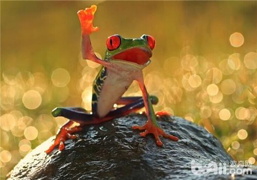 红眼树蛙的形态特征