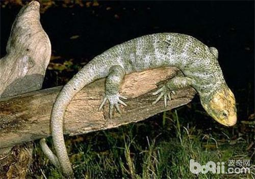 刺背鳄蜥的品种简介