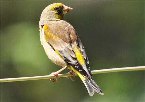 金翅雀一年叫几个月