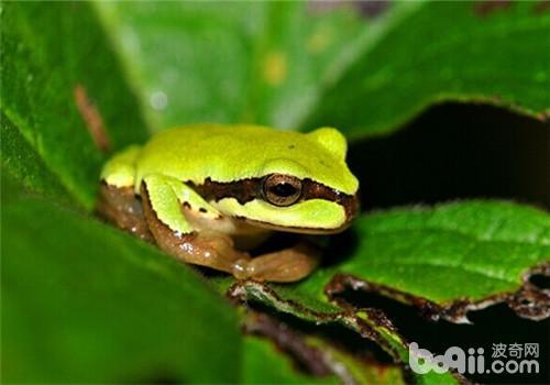 华西雨蛙的形态特征
