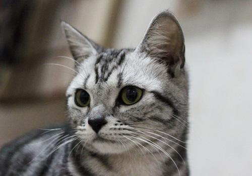 貓咪養護誤區之短毛貓不會掉毛?