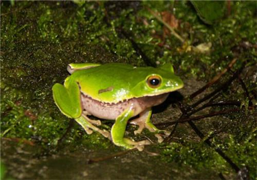 华西雨蛙的喂食要点